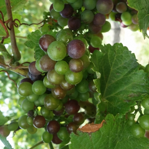 Veraison in Martinborough NZ